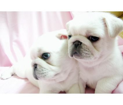 White pugs... maybe.  Very cute.