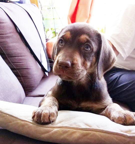 Canela Labrador chocolate