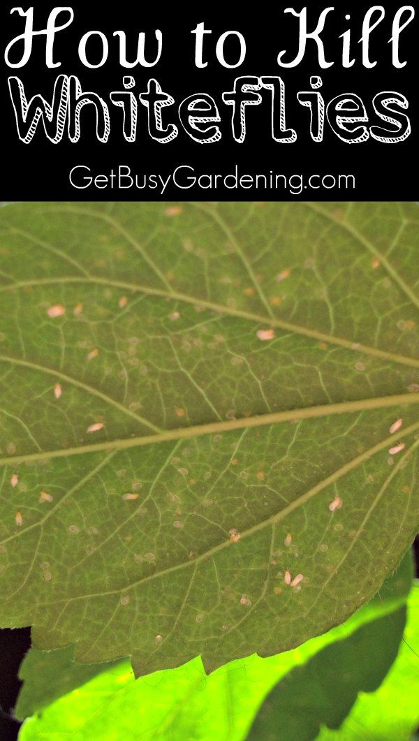 If you see tiny white bugs flying around your plants... well, those my friend are whiteflies and they are super annoying houseplant pests. Want them gone? Here's How to Kill Whiteflies on Houseplants | GetBusyGardening.com