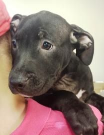 Petango.com – Meet Maya 3, a 5 months 2 days Terrier, American Pit Bull available for adoption in CHICAGO, IL