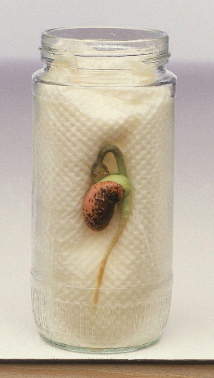 Zo kun je goed zien wat er gebeurt als het zaadje/de boon gaat ontkiemen. Je hoeft er maar voor de helft water in te doen, het keuken papier zuigt het zelf op
