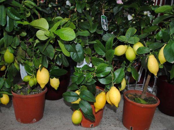 Домашний лимон – весьма капризное растение
