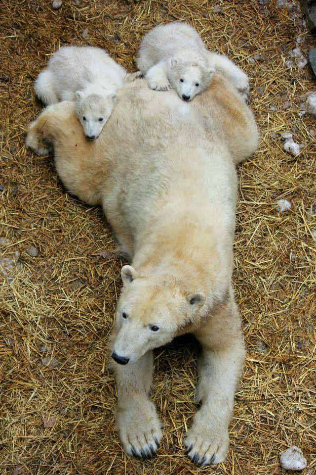 Polar Bears babies resting on mom
