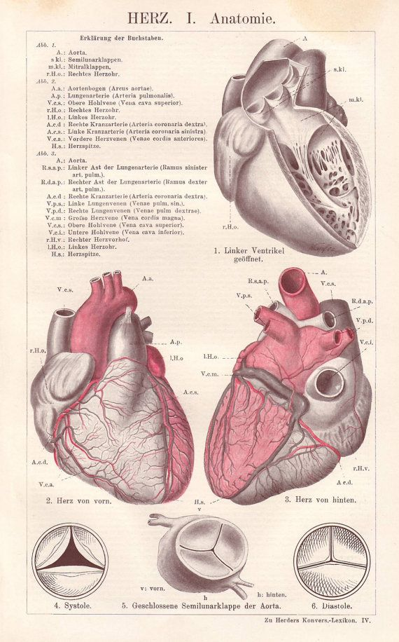 Human heart original 1922 anatomy print  by PaperThesaurus on Etsy