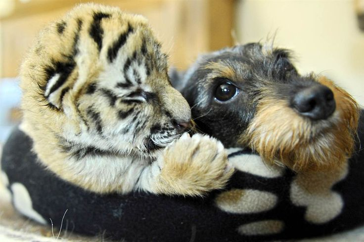 Female dachshund Bessi lays in a basket with a 5-day-old baby tiger on May 20, at the wild animal park in Stroehen, Germany.