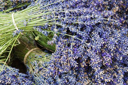 Pěstování levandule není věda. Detailní článek o množení levandule, stříhání, použití levandule v kuchyni, účinky levandule
