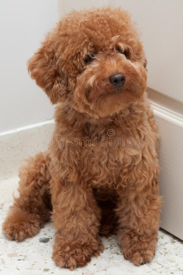 Pin By Micaeala England On Because Puppies Poodle Dogs Kids