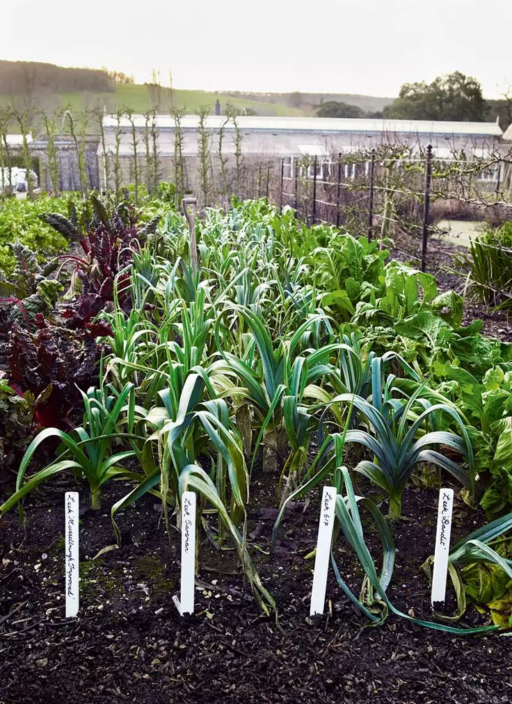 How to grow leeks native plants leafy plants crop rotation