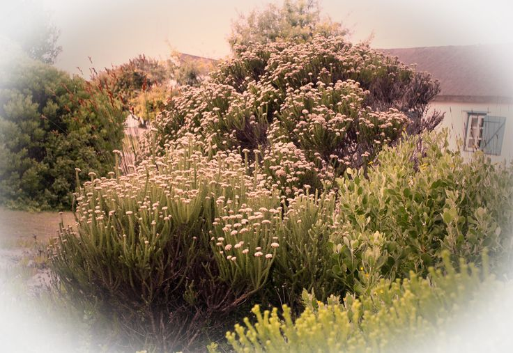 Nature's Flower Bed, Struisbaai, Western Cape,Easter 2016