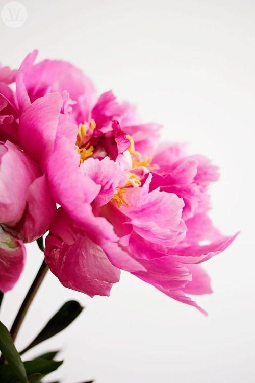 pretty in pink thecoveteur blossoms pinterest blumen sch ne bilder und spr che und. Black Bedroom Furniture Sets. Home Design Ideas