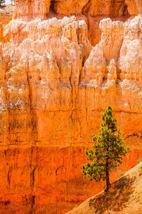 Lone Tree at Bryce Canyon, Utah - Furkl.Com