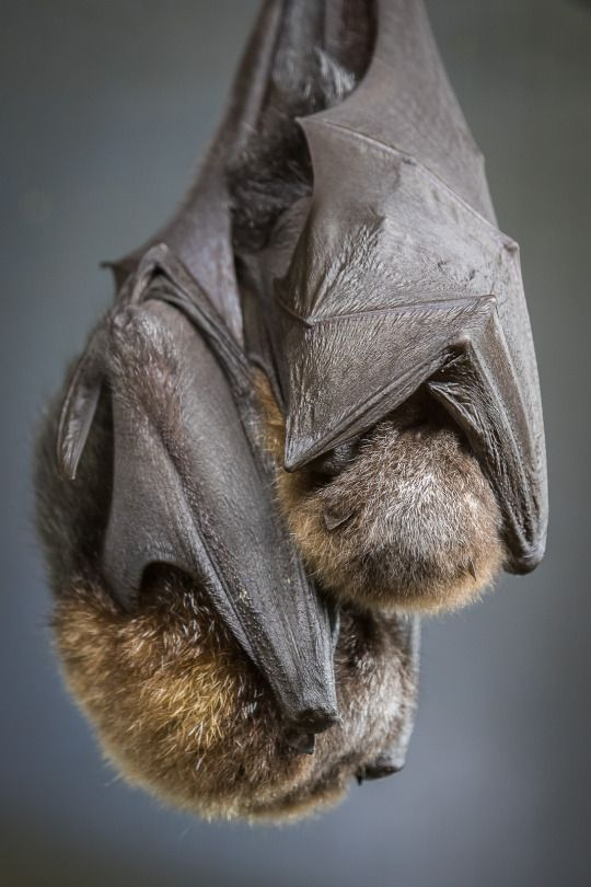 sdzsafaripark: a mother bat can locate her pup by its scent and sound out of millions in a roost. photo Bob Worthington