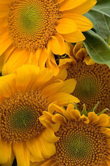 Summer Sunflowers - Close-Up