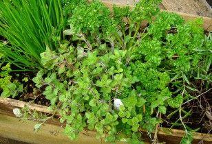 Właściwości zdrowotne koperku ogrodowego