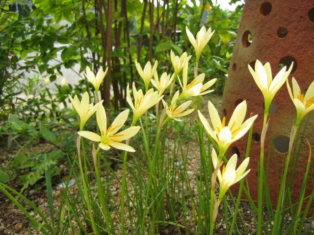 Zephyranthes cv. Ajax ゼフィランサス エージャックス http://berryslife.com