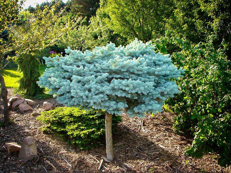 Globe Blue Spruce Tree Form Blue Spruce Tree Spruce