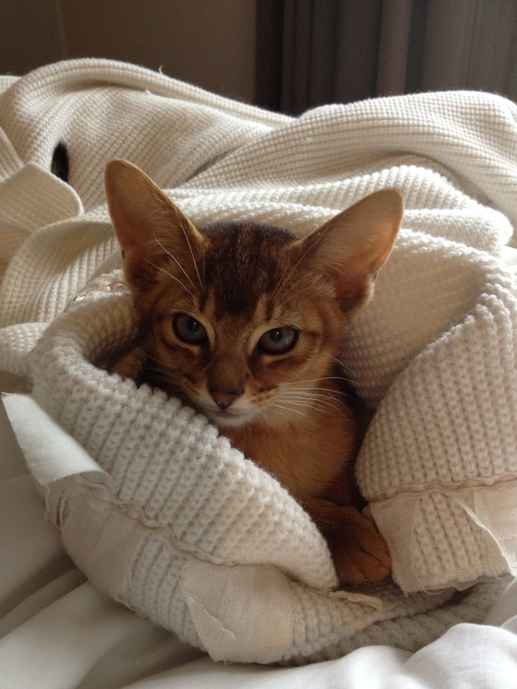 Abyssinian cat for sale india