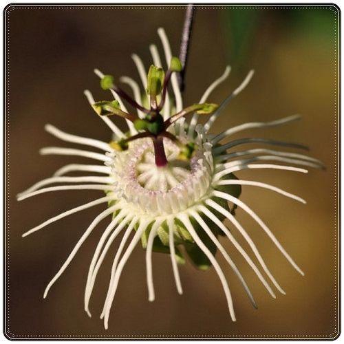 Tutku çiçeği (Passiflora)