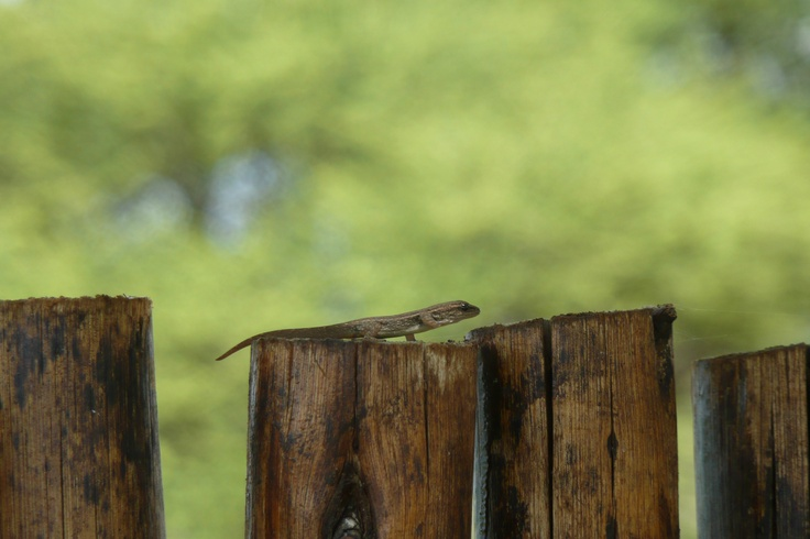 Gecko at Kamfers Dam, Kimberley, South Africa