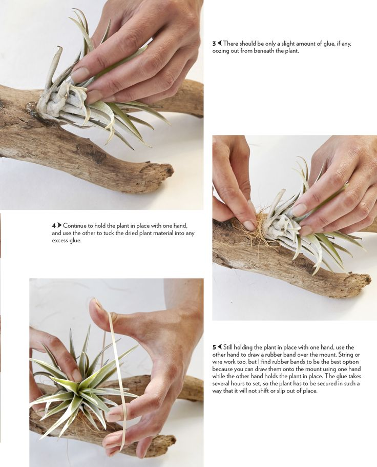 Wood Mount Display: TILLANDSIA AIR PLANTS Inspiration From: Zenaida Sengo's New Book, Air Plants: The Curious World of Tillandsias.