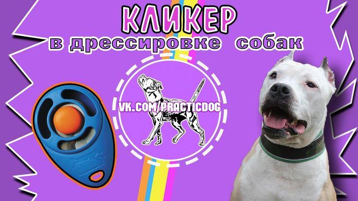Кликер в дрессировке собак   питбуль   дрессировка собак