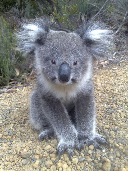 The cutest koala ever                                                       …