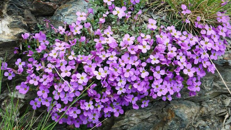 Flowers of Taygetos mountain