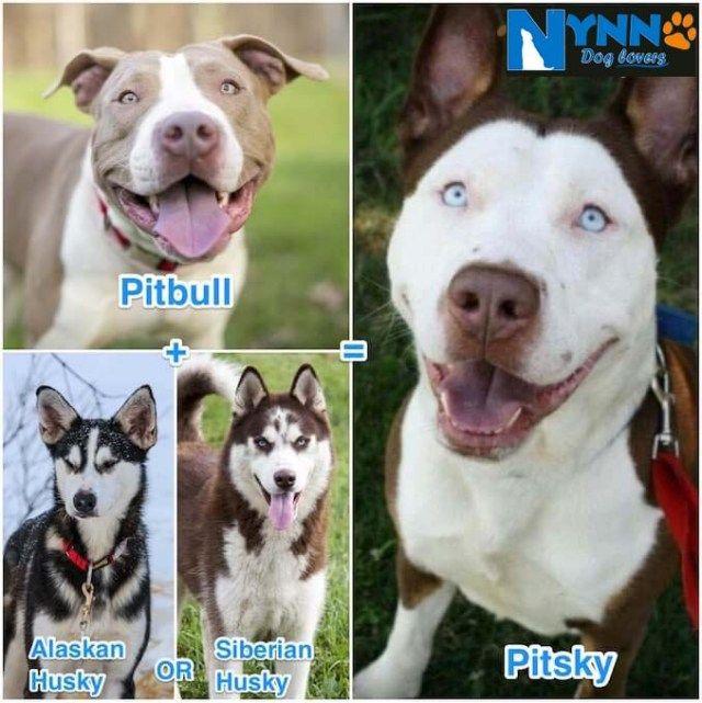 Husky Pitbull Mix Ultimate Pitsky Guide Pitbull Mix Pitbulls