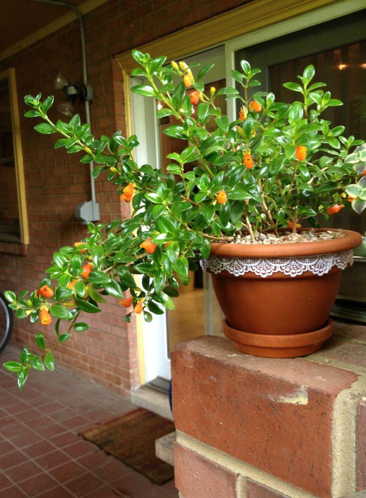 Guppy plant, a.k.a. Nematanthus wettsteinii
