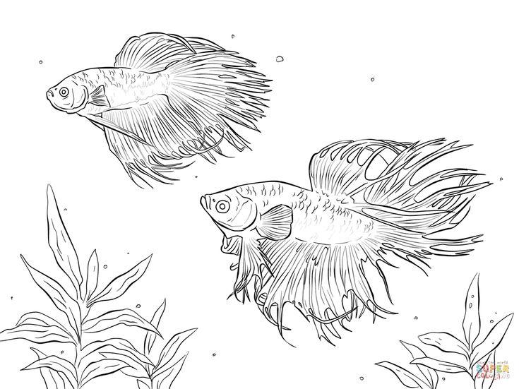 311 besten betta fish bilder auf pinterest aquarell for Siamesische kampffische