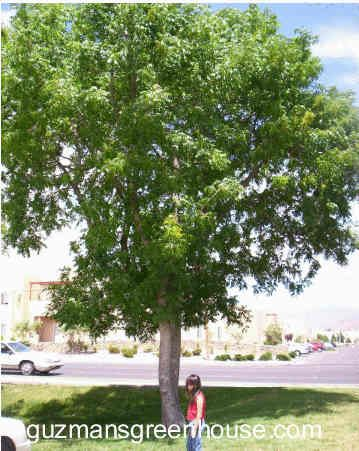Backyard Shade For The Patio Tree Had Since About 2005 Chinese Pistache Fast Growing Pest Free Drought Resistant