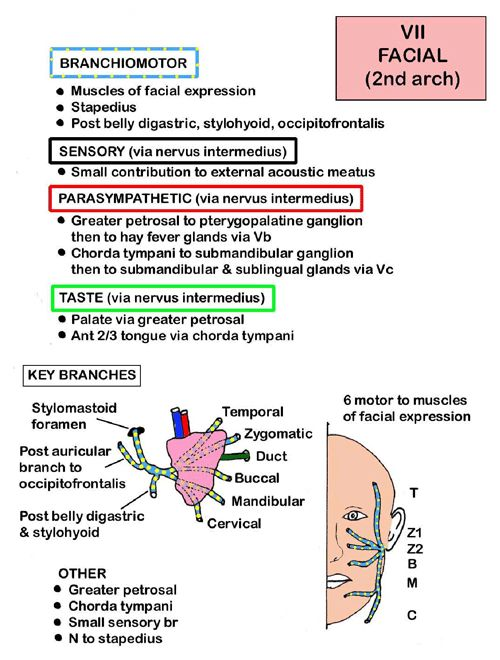 Instant Anatomy - Head and Neck - Nerves - Cranial - VII (Facial nerve)