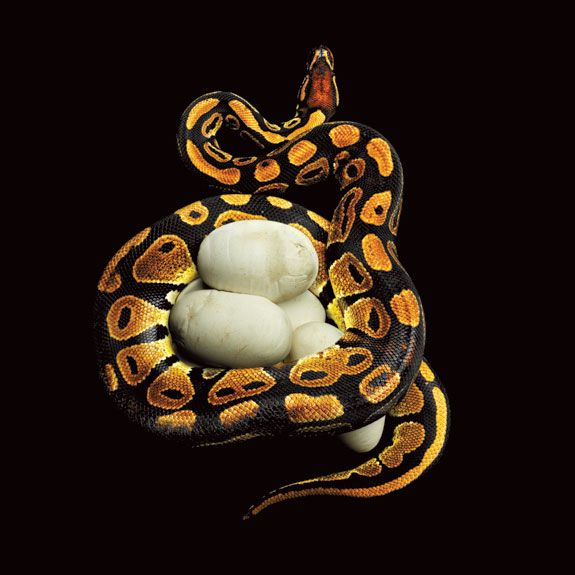 Royal Python (Python regius). Nestling its eggs, this snake, also known as a ball python, is the same species as the albino constrictor, shown further above. © Mark Laita.
