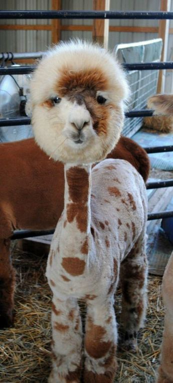 Shaved alpaca...Ohhhhhh..what a poor hairless little critter!