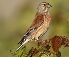 Linnet (Carduelis cannabina). Spread throughout the UK, but absent in parts of Scotland. Can be found in various habitats such as woodlands, heathland, hedgerows and open countryside, as well as thickets of gorse and winter fields that have turned to weeds. The male can often be found during spring time singing on a prominent perch from low branches.