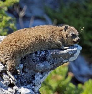 A dassie (Rock Hyrax) on Table Mountain  They are like a cross between a rabbit and a guinea pig