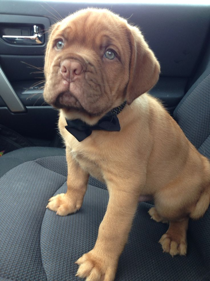 Image Result For Dogue De Bordeaux Cross Golden Retriever French Mastiff Dog Bordeaux Dog Bully Dog