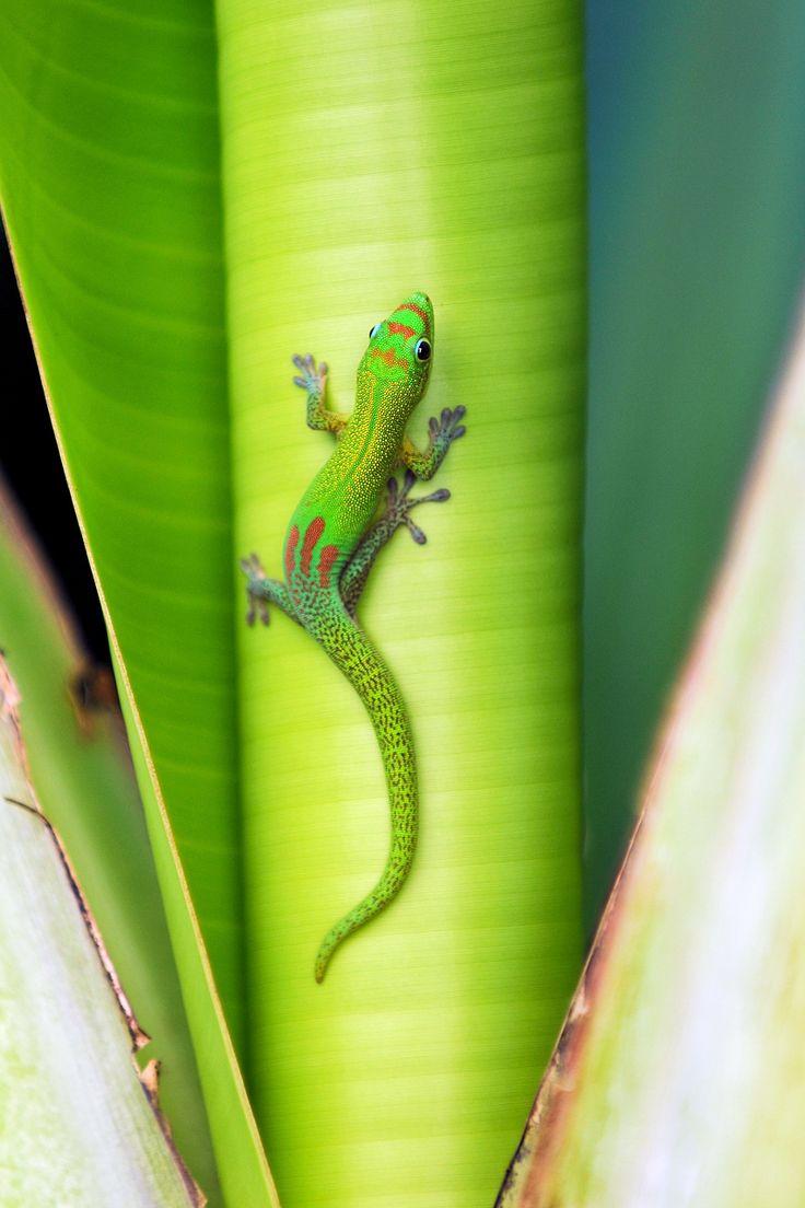 Reunion Island Gecko