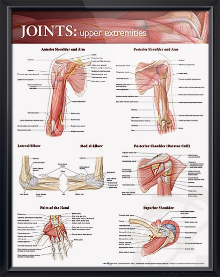 the 25+ best bones and muscles ideas on pinterest | muscles of, Muscles