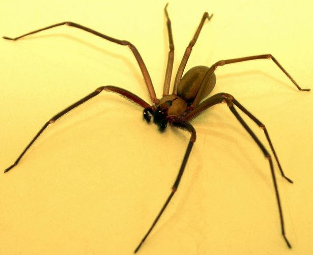 Signs & Symptoms of Brown Recluse Spider Bites thumbnail