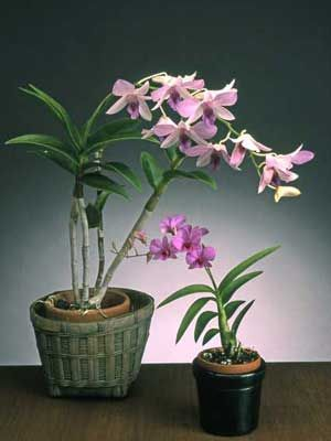 Dendrobium - Dendrobiums need lots of light, but not direct sun.