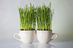 Evde Buğday Çimi Yetiştirin