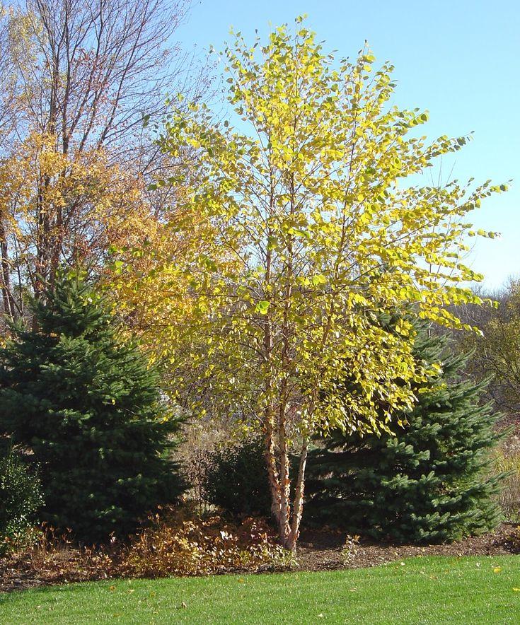 river birch tree fall color for dallas betula nigra www.haroldleidner.com #fallfoliage