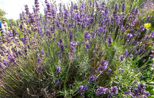 Lavendel: Das blau-lila Juwel der Provence.