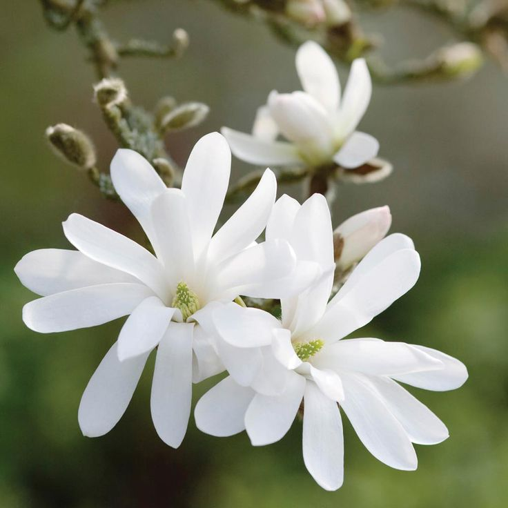✿⊱╮ Magnolia stellata - ultimate height and spread 10 x 12'