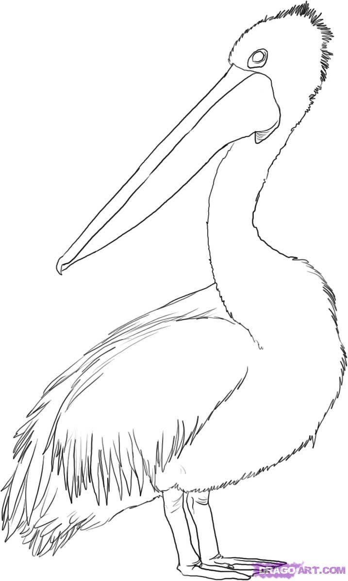 Best Ideas About Pelican Art On Pinterest Bird Art Pelican - Map of us drawn by australian