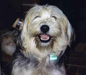 Tibetan Terrier Dogs Puppies