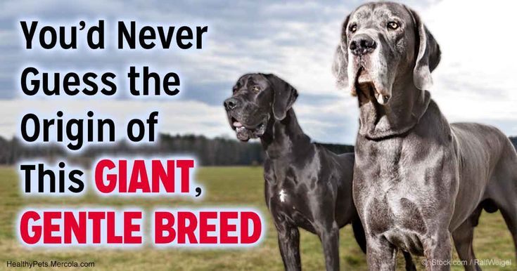Great Danes originated in Germany. Also known as the tallest dog, the former and current world record holders measure 43 and 44 inches high at the shoulder. http://healthypets.mercola.com/sites/healthypets/archive/2017/06/01/great-danes.aspx?utm_source=petsnl&utm_medium=email&utm_content=art1&utm_campaign=20170601Z1&et_cid=DM144904&et_rid=2027236314