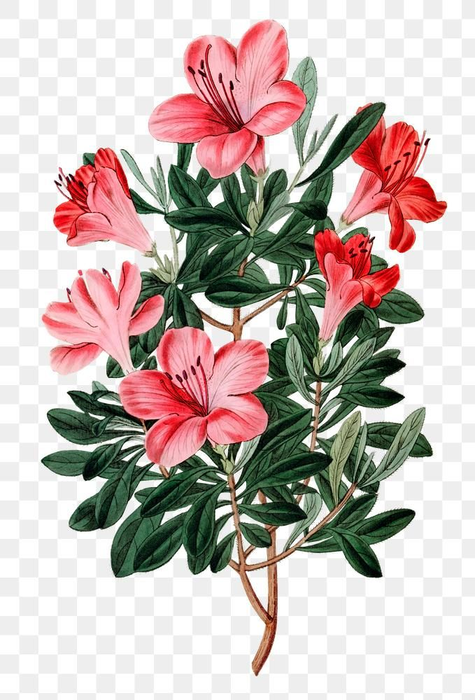 Blooming Red Azalea Png Hand Drawn Floral Illustration Free Image By Rawpixel Com Gade In 2020 Flower Illustration Floral Illustration Free Floral Illustrations