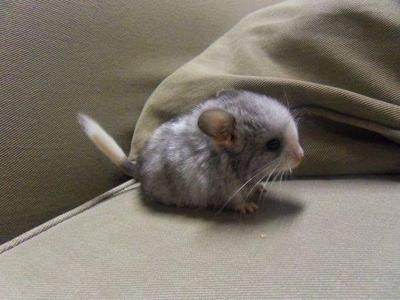 This baby chinchilla is the cutest thing. - Album on Imgur